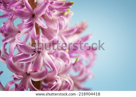 Pink hyacinth flowers on a blue background - stock photo