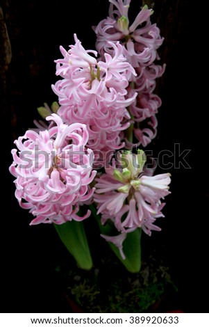 Pink Hyacinth in decorating pot