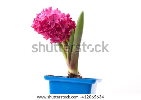 Pink hyacinth in pot on white background. Image of love and beauty. Natural background and design element. - stock photo