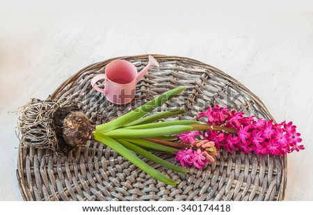 Pink hyacinth lies on a wicker circle next to a decorative watering can - stock photo