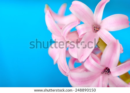 Pink hyacinth on blue background, macro photography - stock photo