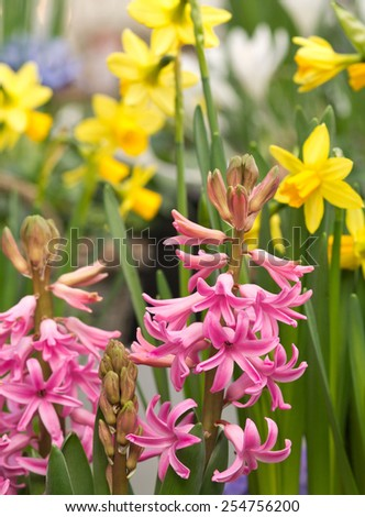 Pink hyacinths before daffodils - stock photo