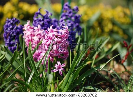 Pink hyacinths (Hyacintus orientalis) flower in bloom. Beautiful spring flora with shallow DOF - stock photo