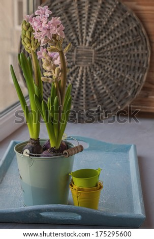 Pink hyacinths  in gray bucket on a tray on the window