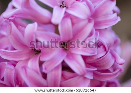 Pink hyacinthus closeup (pink pearl)