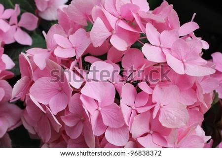 Pink hydrangea - stock photo