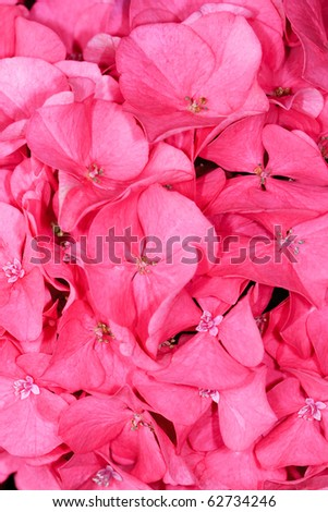 Pink Hydrangea Close-Up - stock photo