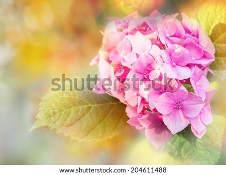 Pink hydrangea flower in the garden. Flower background. - stock photo