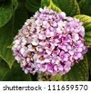 Pink Hydrangea Hortensia flower - stock photo