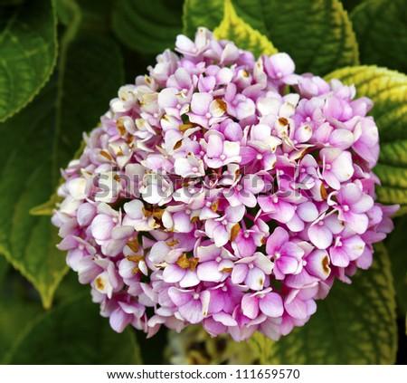 Pink Hydrangea Hortensia flower - stock photo