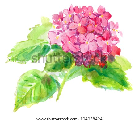 Pink hydrangea on a white background . watercolor - stock photo