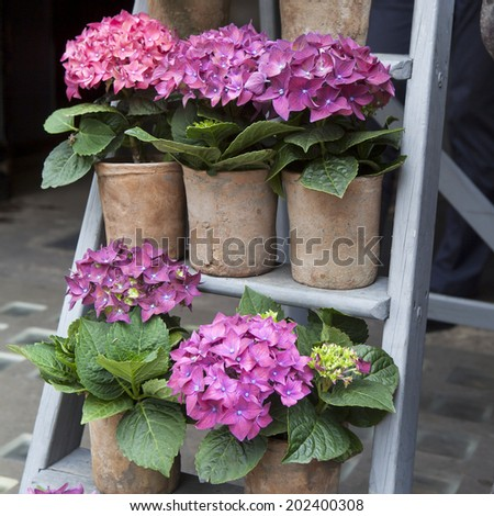 Pink hydrangea on the steps. Flower in flower`s shop . Summer time. - stock photo