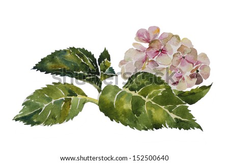 Pink hydrangea with leaves and stem original watercolor painting on white background - stock photo