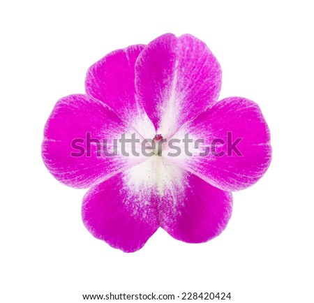 pink impatiens flower isolated on white background - stock photo