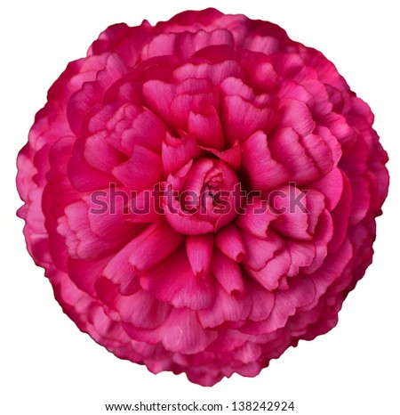 Pink isolatd flower - stock photo