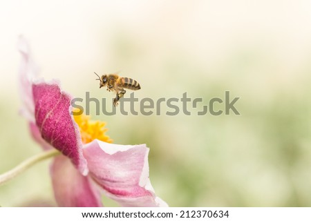 Pink Japanese anemone and a hoverfly in flight. - stock photo
