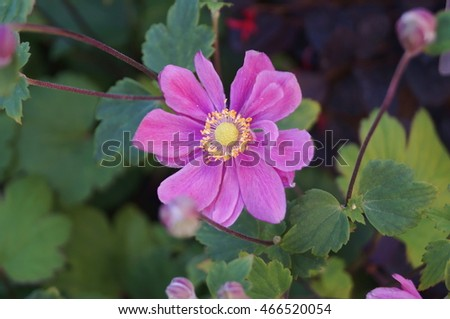 Pink Japanese anemone flowers