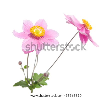pink japanese anemone isolate don white