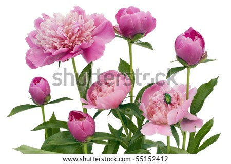 Pink June peonies and a green bug. Isolated on white. - stock photo