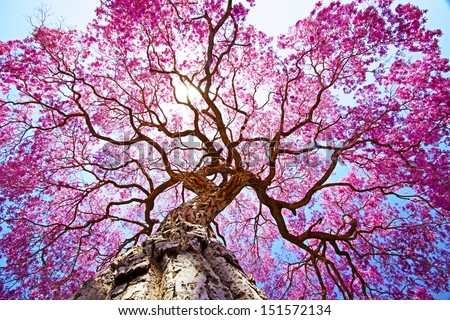 Pink lapacho tree at sun´s back light. Transpantaneira road, Pantanal Matogrossense. POCONE. MATO GROSSO, BRAZIL. - stock photo