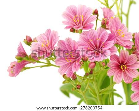 Pink lewisia flowers - stock photo