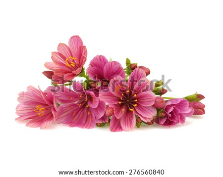Pink lewisia flowers on a white background - stock photo
