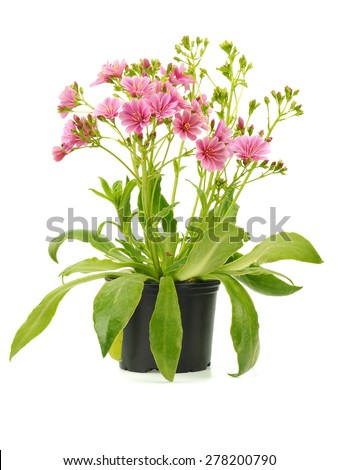 Pink lewisia in flower pot on a white background - stock photo