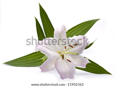 pink lilly isolated on white background