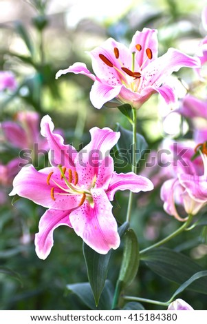Pink lily beautiful in nature close up. - stock photo