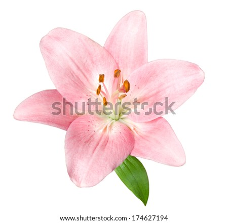Pink lily. Deep focus. No dust. No pollen. - stock photo