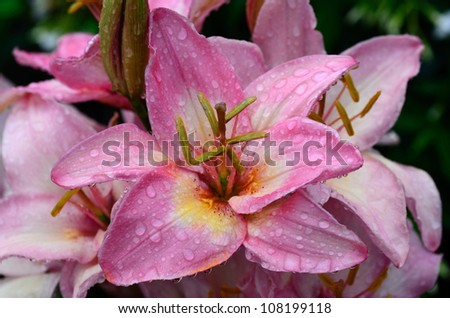 Pink Lily Dripping Wet - stock photo