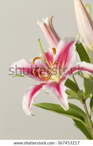Pink lily flower in bloom on a grey background