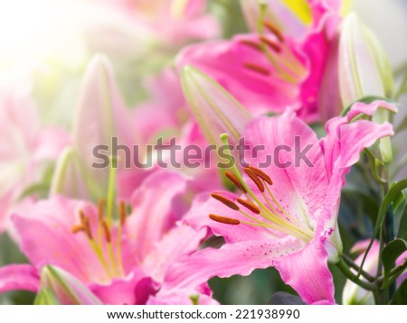 pink lily flower in garden with sunlight - stock photo
