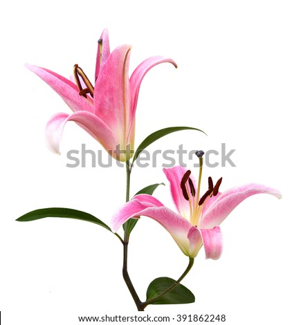 Pink Lily flower isolated on a white background - stock photo