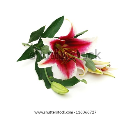 Pink lily flower on white