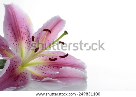Pink lily flower over white - stock photo