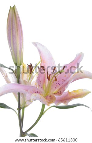 Pink lily flower over white background