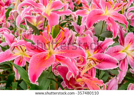 Pink lily flowers blooming in the garden with shallow depth of field - stock photo