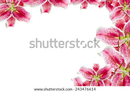 pink lily flowers  over white for background - stock photo