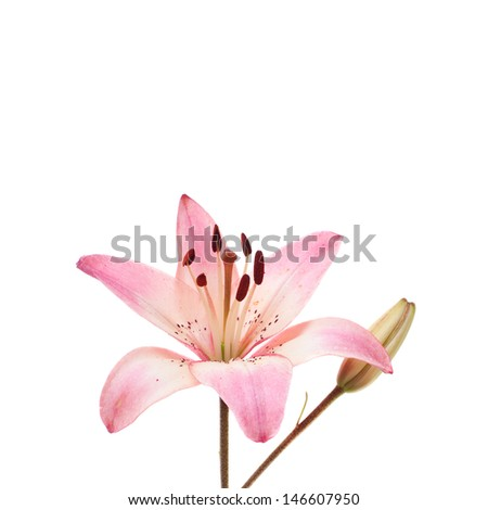 pink lily head and bud isolated on white background
