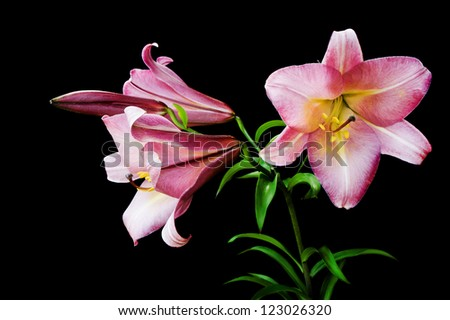 Pink lily isolated on a black background - stock photo