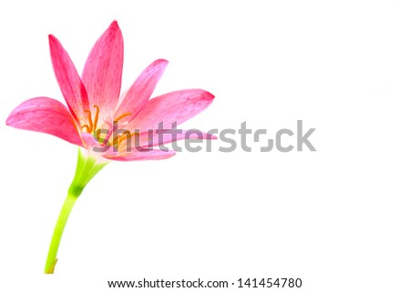 pink lily isolated on a white background. scientif ic name Zephy - stock photo