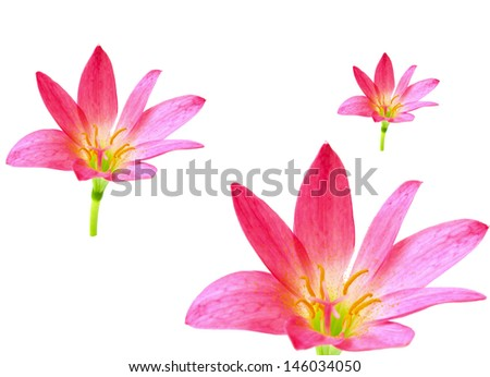 pink lily isolated on a white background. scientific name zephyr - stock photo