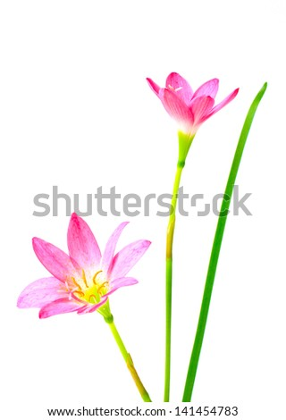 pink lily isolated on a white background. scientific name zephyranthes.