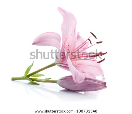 Pink lily. Isolated on white background - stock photo