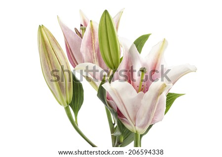 Pink Lily isolated on white background Clipping path included