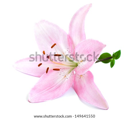 Pink lily  on a white background                                                                                                        - stock photo