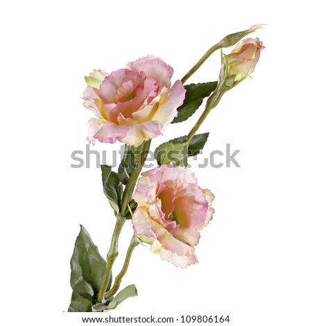 pink lisiantus (eustoma) flower isolated on white - stock photo