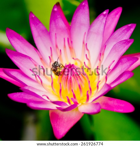 Pink lotus and bee - stock photo
