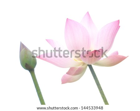 Pink lotus and white background - stock photo
